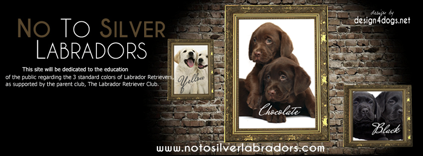 No to Silver Labradors