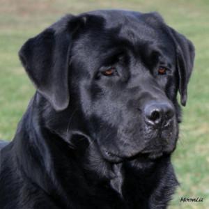 MoonLit Labradors - Black, Yellow and Chocolate Labradors